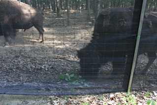 Buffalo at the Campground Zoo Area